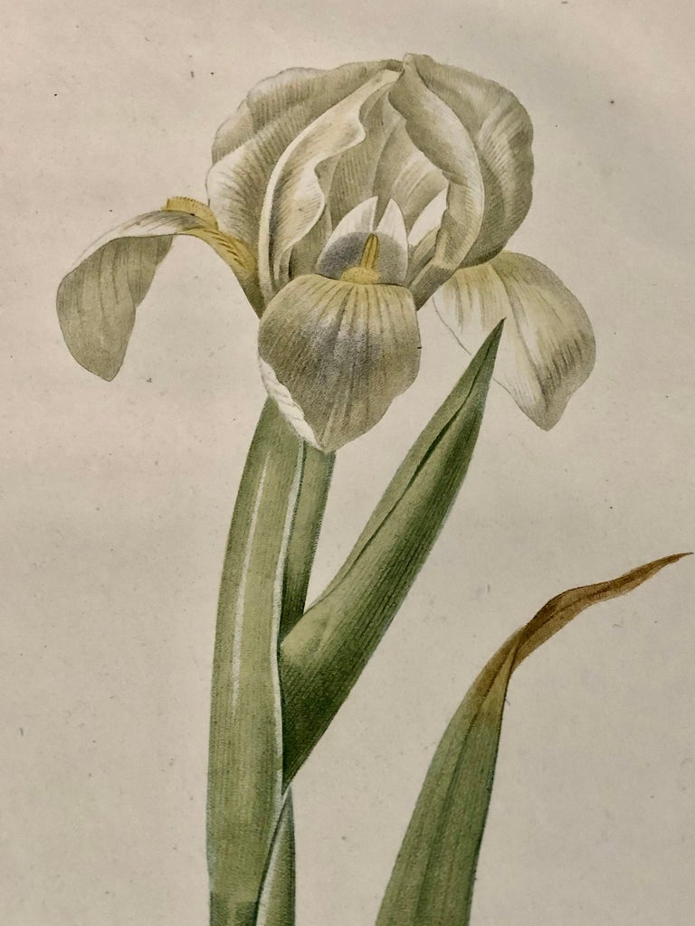 French Iris Virescens, Lalics Hand Colored Engraving Signed P. J. Redoute For Sale