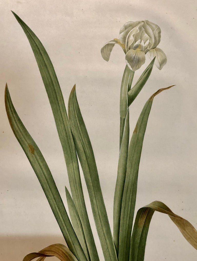 Iris Virescens, Lalics Hand Colored Engraving Signed P. J. Redoute In Good Condition For Sale In Stamford, CT