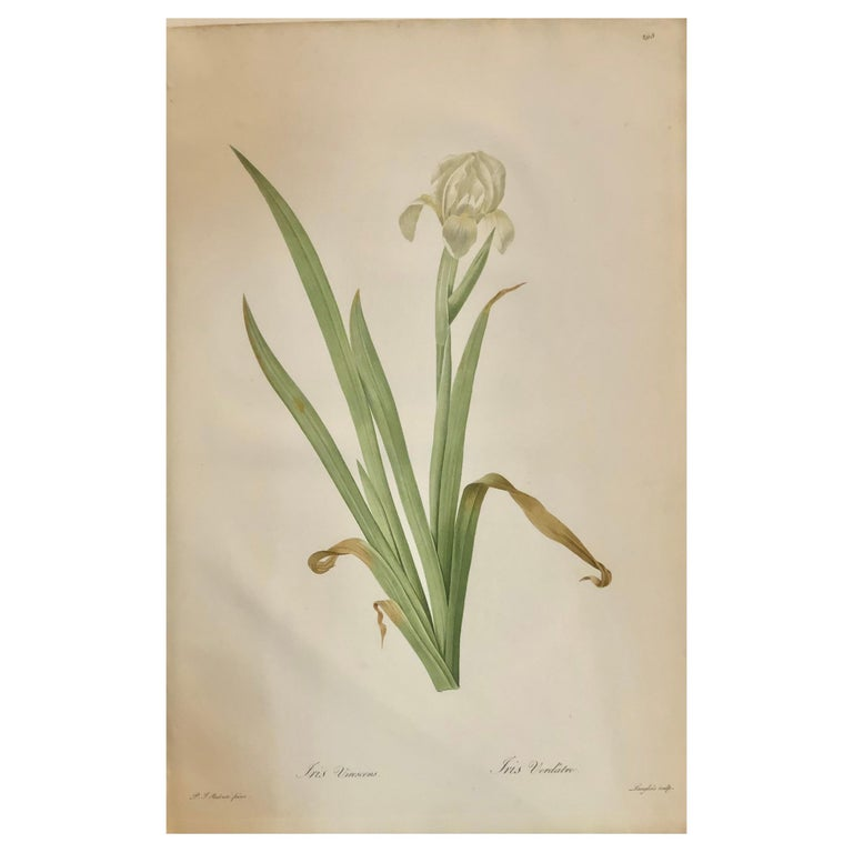 Iris Virescens, Lalics Hand Colored Engraving Signed P. J. Redoute For Sale