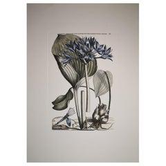 "Italian Contemporary Hand Painted Botanical Print ""Narcissus Amboineris """