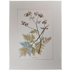 Italian Contemporary Hand Painted Botanical Print Representing Anthriscus Plant