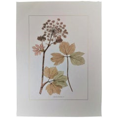 Italian Contemporary Hand Painted Botanical Print Representing Apiaceous Plant