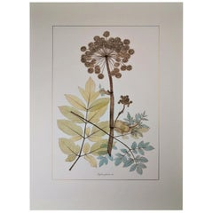 Italian Contemporary Hand Painted Botanical Print Representing Wild Angelica