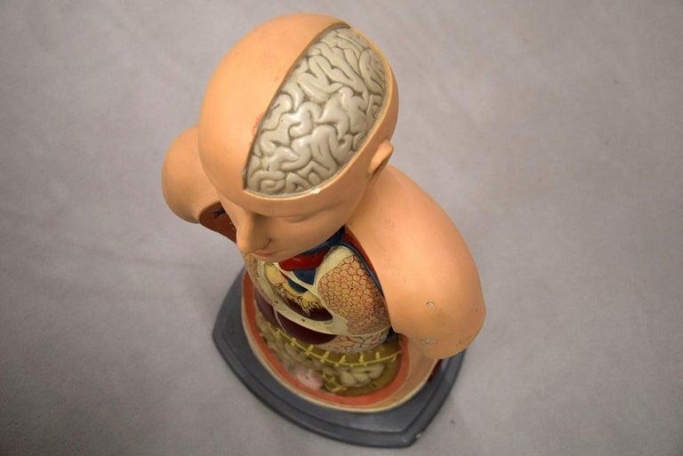 Italian Midcentury Anatomical Educational Torso For Sale 5