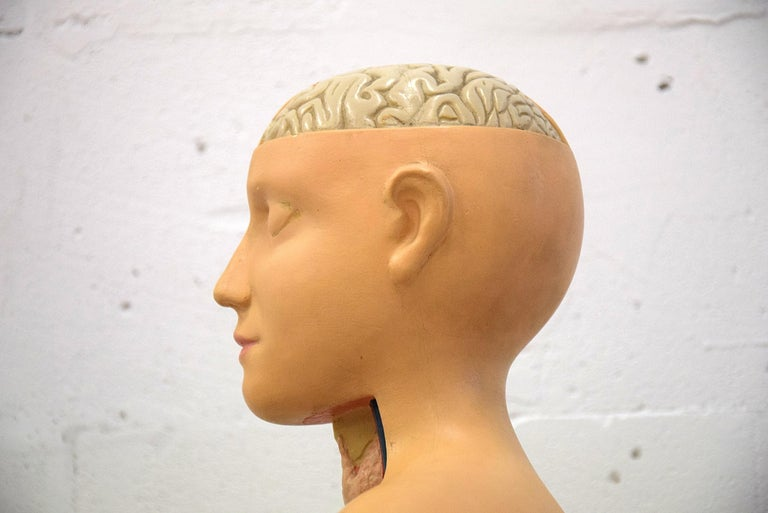Composition Italian Midcentury Anatomical Educational Torso For Sale