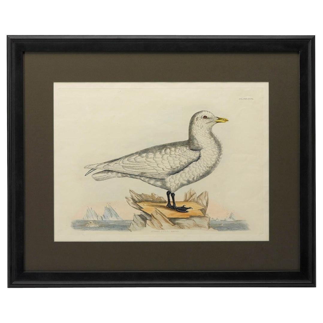 """Ivory Gull. Adult"" by Prideaux John Selby, Antique Hand-Colored Engraving"