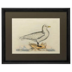 """""""Ivory Gull. Adult"""" by Prideaux John Selby, Antique Hand-Colored Engraving"""
