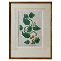 "A Botanical Mezzotint ""Turpethum; Turbith"" by J. W. Weinmann-18th Century"