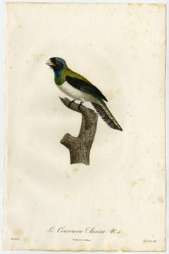 A curucui bird species by Barraband - Hand coloured etching - 19th century