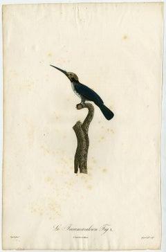 A Jacamar bird species by Barraband - Hand coloured etching - 19th century