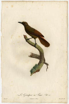 A woodcreeper bird species by Barraband - Hand coloured etching - 19th century