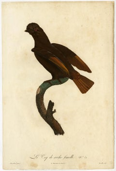 Female cock-of-the-rock bird by Barraband - Hand coloured etching - 19th century