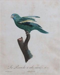 La Perruche a ailes variees Pt. 57