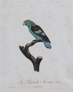 La Perruche Javane, Pl. 69