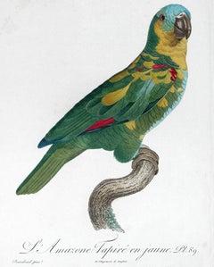 L'Amazone Tapire en jaune (Amazon Yellow Parrot).