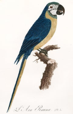 L'Are Rauna (Blue and Yellow Macaw)