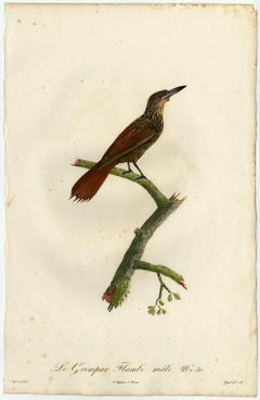 Male chestnut-rumped woodcreeper by Barraband - Hand coloured etching - 19th c