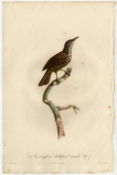 Male straight-billed woodcreeper by Barraband - Hand coloured etching - 19th c
