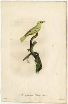 The citrine wagtail songbird by Barraband - Hand coloured etching - 19th century