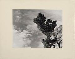 Monterey Pine Landscape