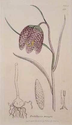 Fritillaria Meleagris (Snake's Head Fritillary)