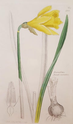 Narcifsus Pseudo-Narcifsus (Wild Daffodil)