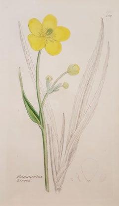 Ranunculus Lingua (Greater Spearwort)