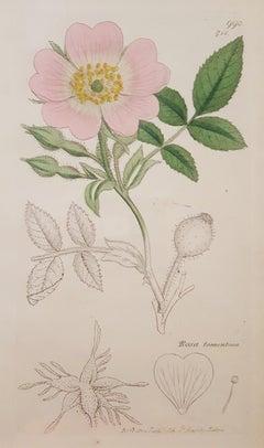 Rosa Tomentosa (Harsh Downy-rose)