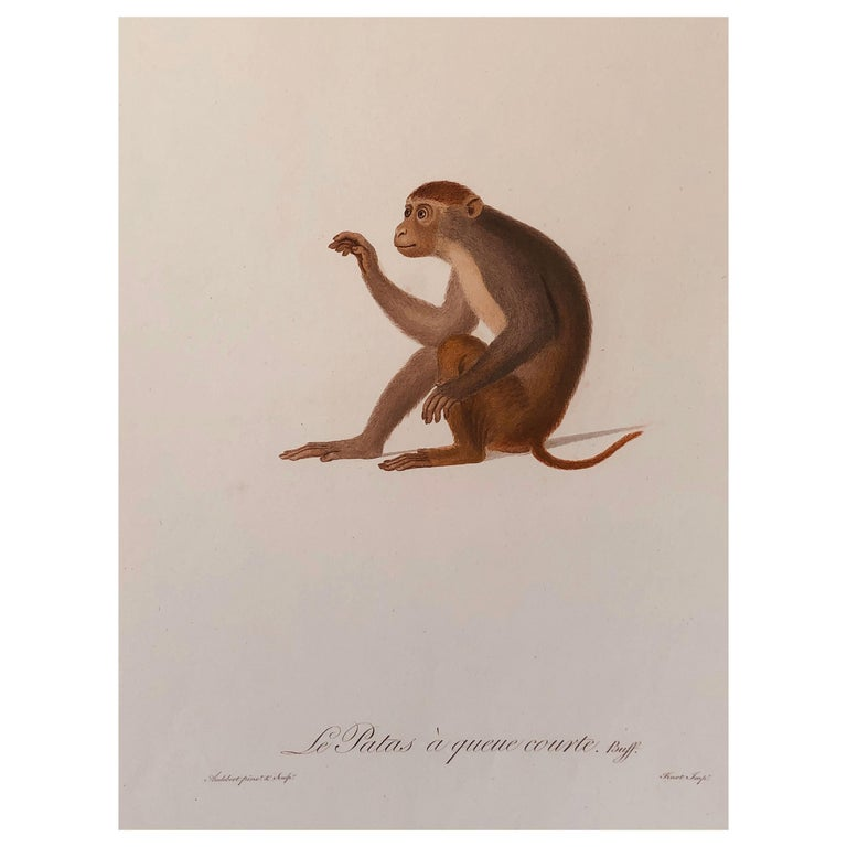 Jean-Baptiste Audebert Hand-Colored Engraving of a Patas Monkey