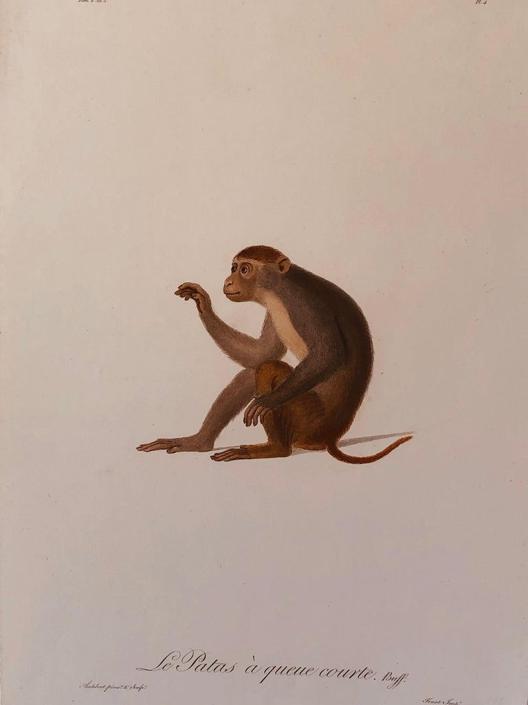 Rare hand-colored engraving by Jean-Baptiste Audebert (1759-1800) of a patas or West African short tailed monkey. From Audebert's monograph Histoire Naturelle Des Singe. Unframed but in a matte. Printed by Finot. Sheet size: 20.25 x 13.