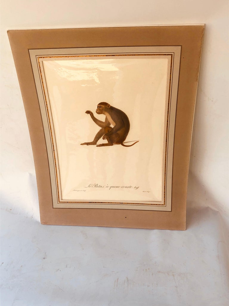 Neoclassical Jean-Baptiste Audebert Hand-Colored Engraving of a Patas Monkey