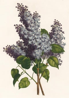Lilac Engraving