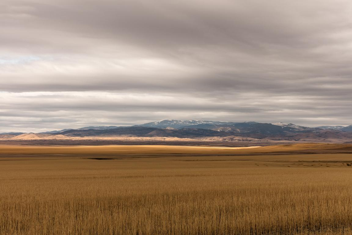 Amber Waves of Grain, Montana
