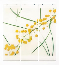 Acacia, No. 2: Abstract Still Life Photograph of Yellow & Green Flowers on White