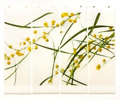 Acacia, No. 3: Yellow Floral Photograph of Yellow & Green Flowers on White