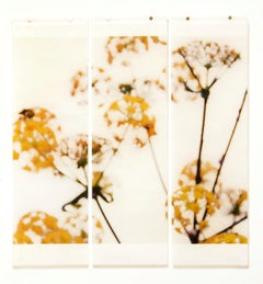 Wild Fennel: Framed Abstract Still Life Photograph of Yellow Flowers on White