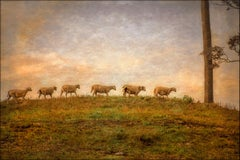 Dinner Bell (Color Photograph of White Sheep in a Country Landscape at Sunset)