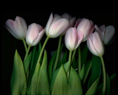Pink Tulips (Modern Still Life Photograph of Pink & Green Flowers on Black)