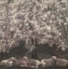 Winter Lambs (Framed Black and White Photograph of White Lambs in a Landscape)