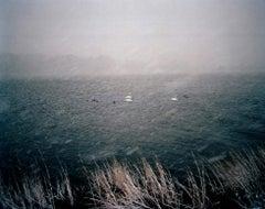 Swans (Snowstorm)