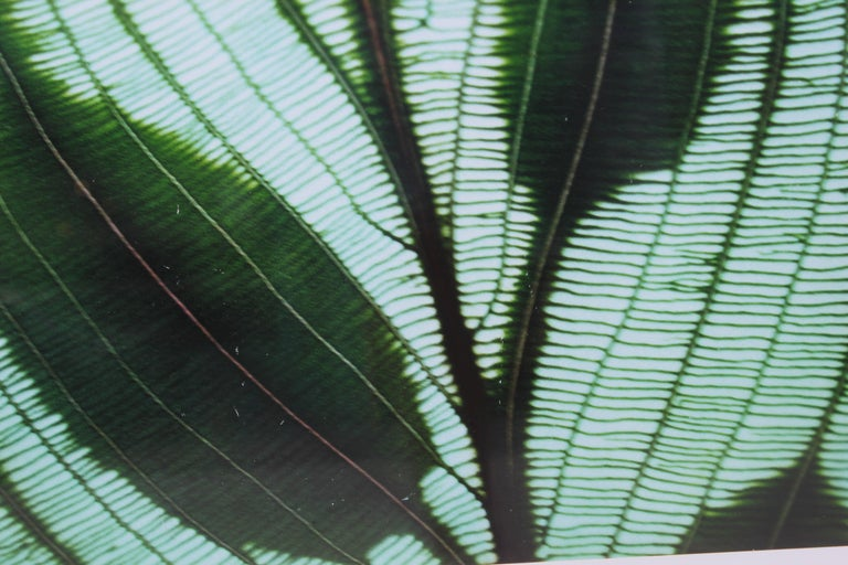 Botanical photograph of translucent leaves in the sun by Jim Laser framed and photographed in 1998. Framed in a white mat and a decorative frame. Tag with artist information on reverse.  Artist Biography: Jim Laser is a photographer who grew up in