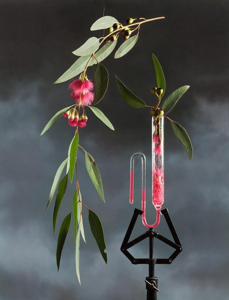 Jo Whaley Color Photograph - Eucalyptus
