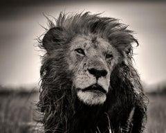 Black beard, Kenya, Lion, b&w photography, Africa, Portrait