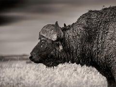 Buffalo, Kenya 2019, contemporary, wildlife, b&w photography