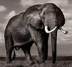 Elephant bull in Amboseli, Kenya, 21st century, contemporary, wildlife