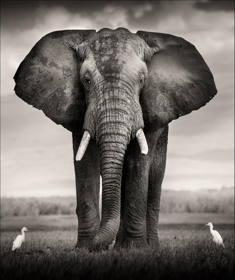 Elephant Bull with two birds Kenya,  21st century, contemporary, wildlife - Photograph by Joachim Schmeisser