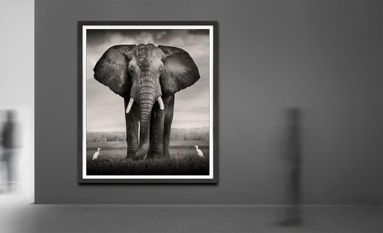 Elephant Bull with two birds Kenya,  21st century, contemporary, wildlife - Contemporary Photograph by Joachim Schmeisser