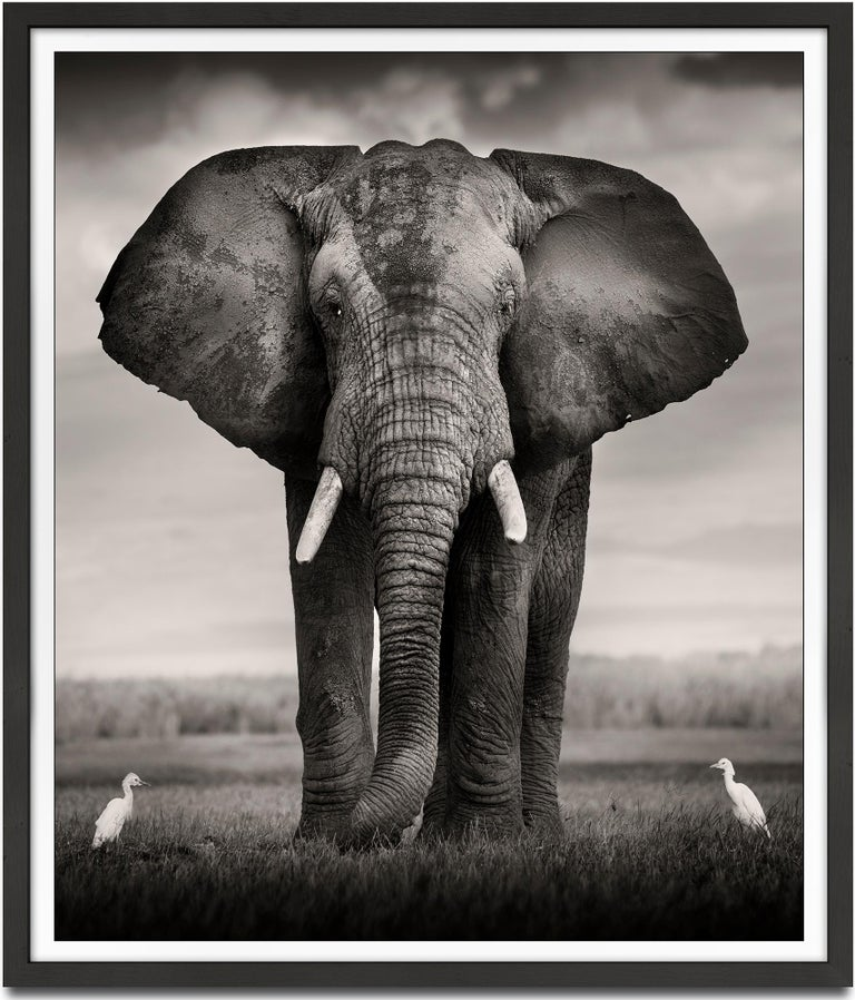 Joachim Schmeisser Black and White Photograph - Elephant Bull with two birds Kenya,  21st century, contemporary, wildlife