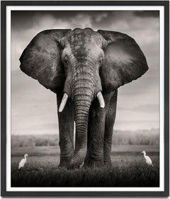 Elephant Bull with two birds Kenya,  21st century, contemporary, wildlife