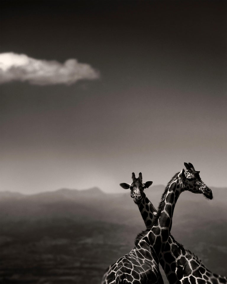 Joachim Schmeisser Landscape Photograph - Giraffe Couple, Kenya 2019, contemporary, wildlife, b&w photography